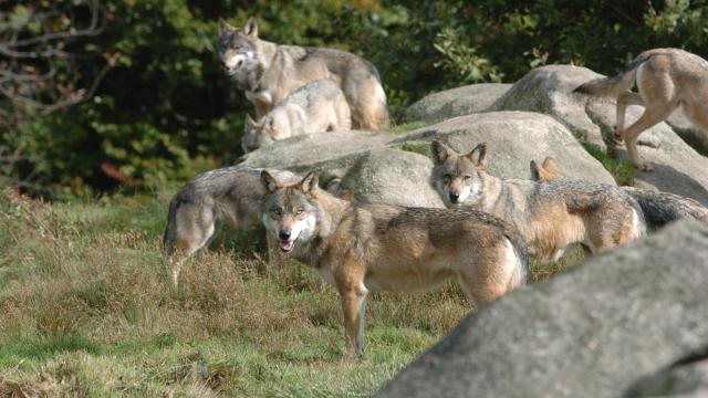 Le Parc Aux Loups Parc Animalier Des Monts De Guéret Site Touristique En Creuse©s.parouty