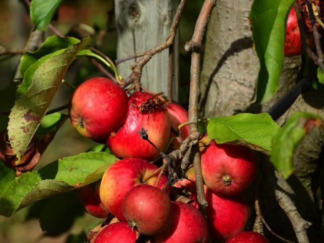Pommes du Verger de Fonloup