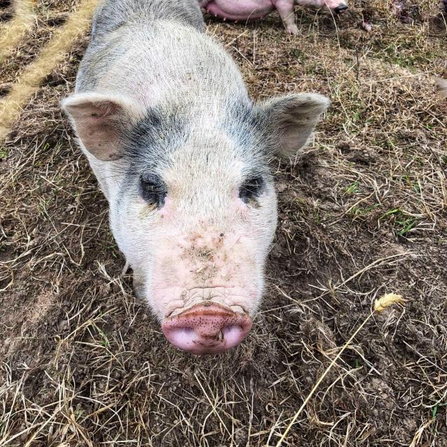 Cochon Les Clautres 2019