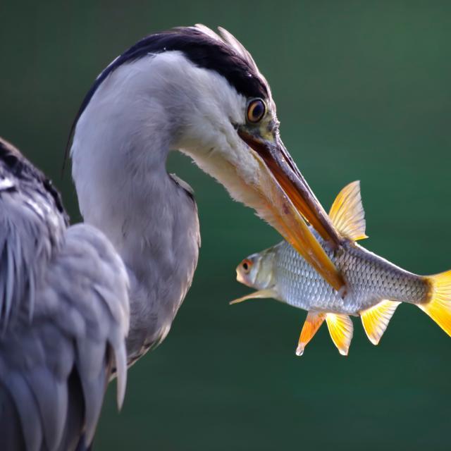 Heron Pêche